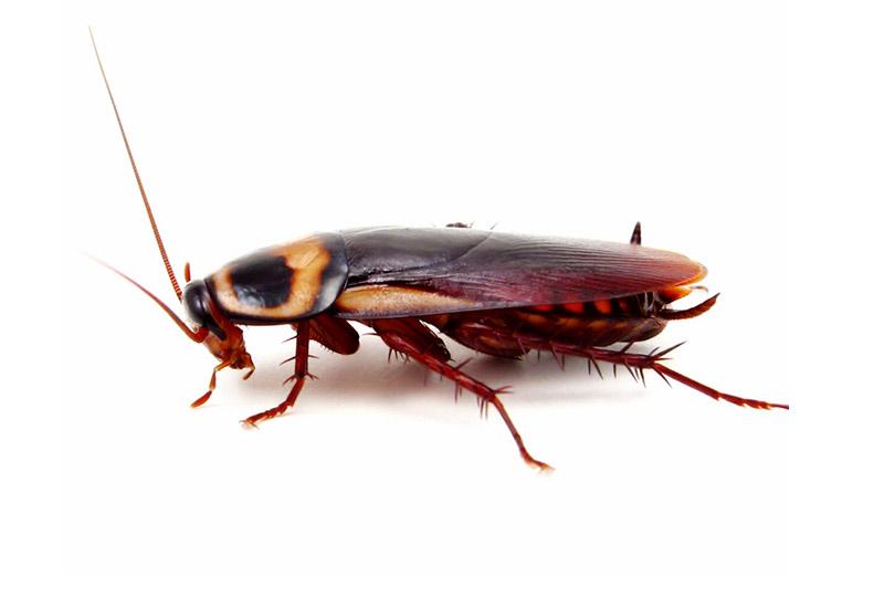 tecno-cucaracha-americana