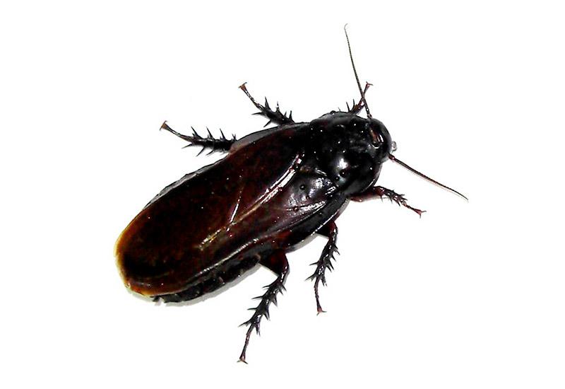tecno-cucaracha-negra