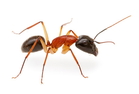 tecno-hormiga-faraon