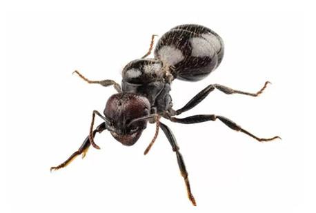 tecno-hormiga-negra