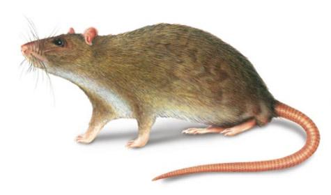 rata-alcantarilla-plagas-tecno