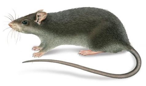 rata-negra-plagas-tecno