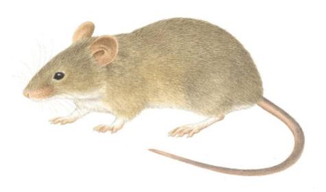 raton-domestico-plagas-tecno